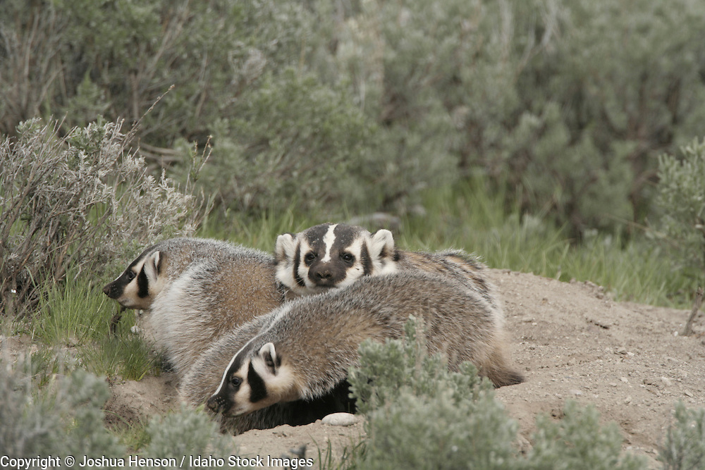 WYOMING. Yellowstone National Park. American Badger (Taxidea taxus) with juveniles.