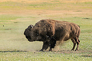 An enormous wild bull bison (buffalo) rolls in a dust bath on the high plains of South Dakota