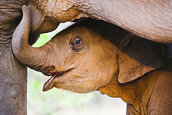Close-up portrait of an Indian elephant calf ( Elephas maximus ) feeding beneath its mother, Bandhavgarh,Madhya Pradesh,India