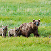 Brown bear, Ursus arcto, with cubs in Chinita Bay in Lake Clark National Park, Alaska. Summer