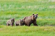 Brown bear, Ursus arcto, with cubs in Chinita Bay in Lake Clark National Park, Alaska. Summer