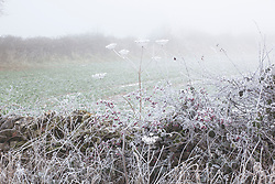 Frosty laneside in winter with Hogweed seedheads and hawthorn berries. Heracleum sphondylium, Crataegus monogyna