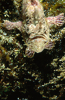 Sanguine Frogfish or Anglerfish