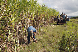 Man weeding and oxen pulling workers on a cart on sugar plantation at Manuel Sanguilly; Pinar Province; Cuba,