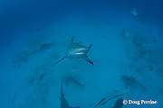 bull shark, Carcharhinus leucas, female in seasonal breeding aggregation rises off bottom to investigate photographer, Playa del Carmen, Cancun, Quintana Roo, Yucatan Peninsula, Mexico ( Caribbean Sea )
