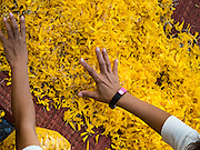 """02 JANUARY 2016 - KHLONG LUANG, PATHUM THANI, THAILAND: People place marigolds of along the path monks will walk at Wat Phra Dhammakaya on the first day of the 5th annual Dhammachai Dhutanaga (a dhutanga is a """"wandering"""" and translated as pilgrimage). More than 1,300 monks are participating pilgrimage through central Thailand. The purpose of the pilgrimage is to pay homage to the Buddha, preserve Buddhist culture, welcome the new year, and """"develop virtuous Buddhist youth leaders."""" Wat Phra Dhammakaya is the largest Buddhist temple in Thailand and the center of the Dhammakaya movement, a Buddhist sect founded in the 1970s. The monks are using busses on some parts of the pilgrimage this year after complaints about traffic jams caused by the monks walking along main highways.          PHOTO BY JACK KURTZ"""