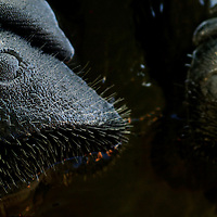 The nostrils on the noses of manatee open and shut like doors at Mote Marine Laboratory in Sarasota, Fla., on Wednesday, August 23, 2006.  (PHOTO/CHIP LITHERLAND)