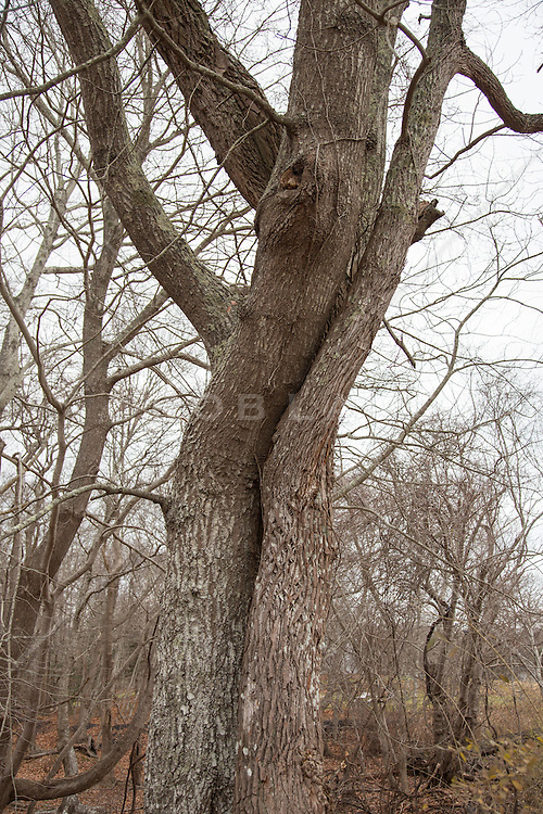 trees intertwined in the woods of Montauk, NY