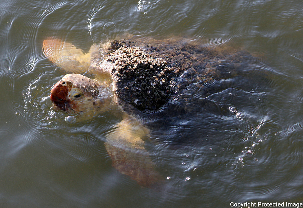 Sea turtle coming up for air near Jekyll Island beach
