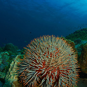 Crown of thorns acanthaster placi against sea background at rayong, thailand