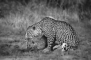 A mother leopard grooms her cub at a small drinking hole during the early morning in summer. Leopards (Panthera pardus) are normally reclusive, and much more active during the night, but the Sabi Sands game reserve is reknowned for good leopard sightings.