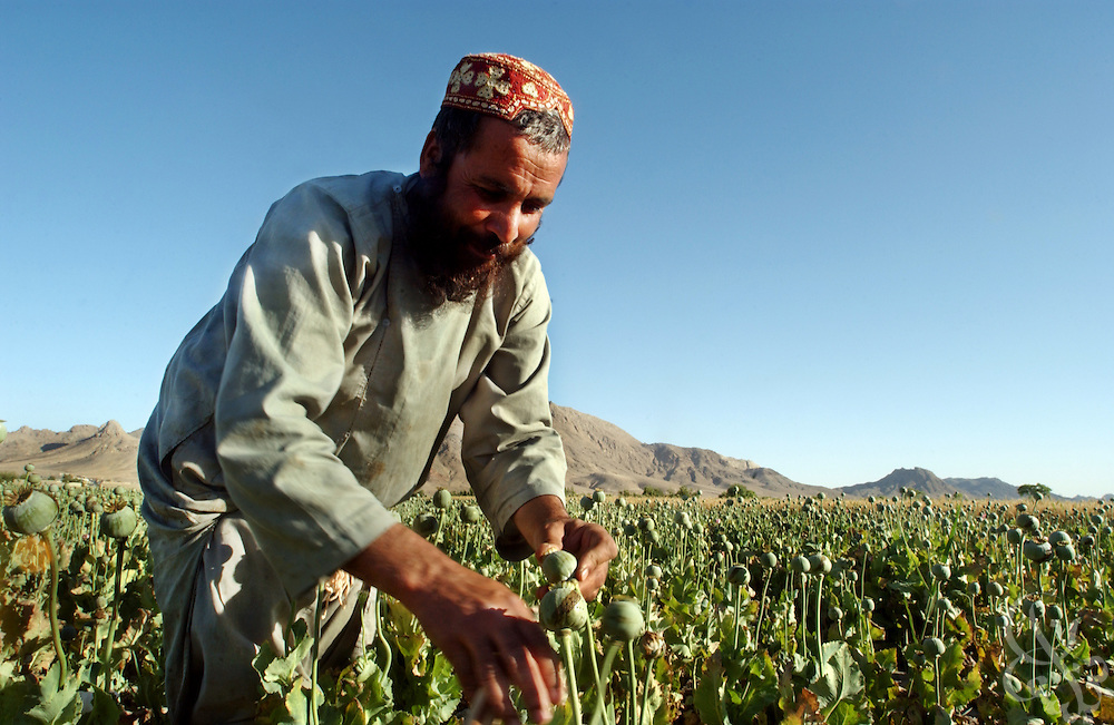 Afghan farmer Abdul Samad prepares poppy bulbs for harvest by scoring them with razors in the field May 16, 2002 near the city of Kandahar, in southern Aghanistan. Despite Afghan and coalition efforts at eliminating the crops used to produce opium and heroin, Afghan farmers in Southern Afghanistan continue to embrace poppies for their high cash value and hardiness.