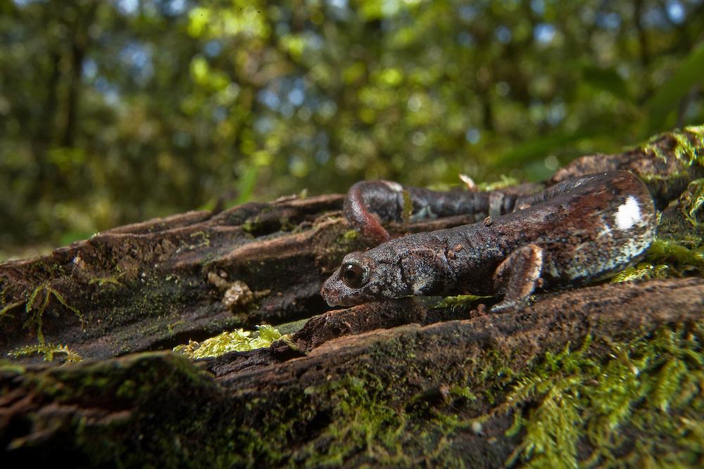 Pseudoeurycea cephalica salamander in Sierra Gorda, Queretaro Province, Mexico