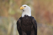 North America raptor photos
