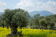 Olive tree plantation Photographed in Galilee, Israel