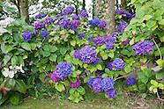 Hydrangea Collection, Lagg House - Scotland, Autumn