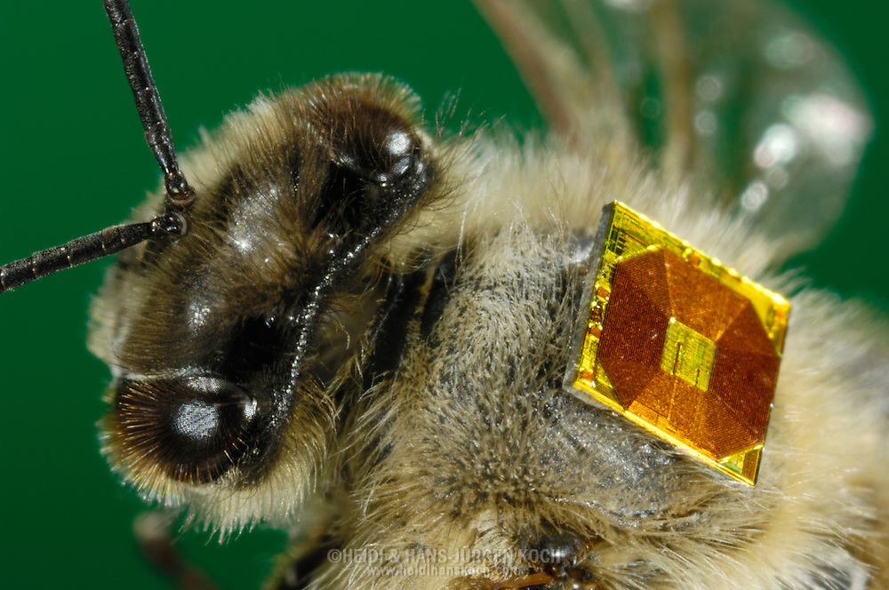"DEU, Deutschland: Biene, Honigbiene (Apis mellifera), Biene mit RFID-Chip (radio frequency identification) auf dem Rücken, RFID-Mikrochips werden verwendet um eine lebenslange Verhaltensbeobachtung bei Bienen zu ermöglichen. Einmal angebracht sendet der Chip bei jedem Ein- und Ausflug in den Stock die individuelle ""Seriennummer"" seiner Trägerin und lässt so Rückschlüsse auf den Fleiss und die Gesundheit der Biene zu, Bienenstation an der Bayerischen Julius-Maximilians-Universität Würzburg 
