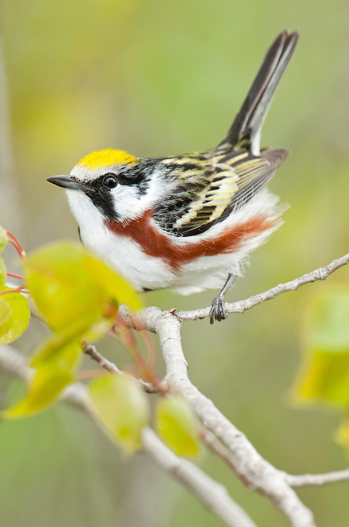 Chestnut-sided Warbler, Setophaga pensylvanica, male, Iosco County, Michigan