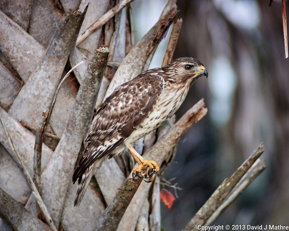 Red-shouldered Hawk. Courtenay Highway, Merritt Island National Wildlife Refuge. Image taken with a Nikon 1V2 camera and 180 mm f/2.8 lens (ISO 800, 180 mm, f'2.8, 1/640 sec).
