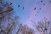 Dozens of American crows (Corvus brachyrhynchos) fly to join thousands of others that are roosting in trees along North Creek in Bothell, Washington.