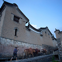 A herder brings his cows into town past the Duan family home in Heshun. The traditional outer walls of buildings of the area are made of mud bricks whereas the inner portions of the homes are built with wood and intricately carved latticework.