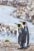 Two courting King Penguins (Aptenodytes patagonicus), St Andrews Bay, South Georgia Island, South Atlantic Ocean