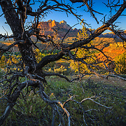 The peaks of Zion National Park are framed by a Pinyon Pine in Utah.