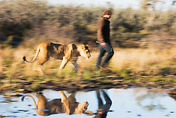 Valentin Gruener with a lioness (Panthera leo) that he raised from a small dying cub to a healthy adult; they developed a close and intense relationship, Grasslands Private Reserve,Kalahari Desert, Botswana, Africa