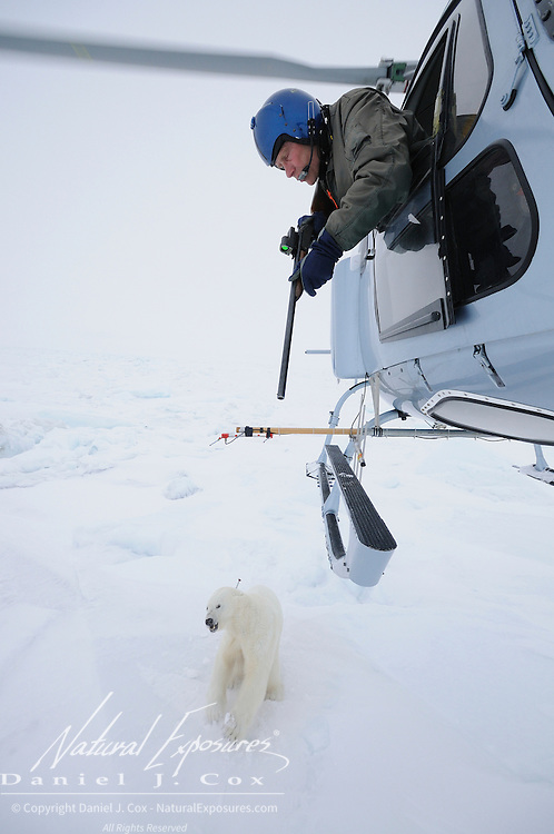 Dr. Steven Amstrup, lead scientist for the US Geological Survey, darts a female polar bear on the Beaufort Sea. Darting the bears from a helicopter can be extremely treacherous. The pilot has to hover over a running animal that is twisting and turning, dodging and ducking, an animal that feels it's running for its life. This bear is hit directly between the shoulders with an immobilizing dart. It takes anywhere from 4-15 minutes for the drug to take effect and immobilize the bear which will be out for 1-2 hours as the scientists process the data.