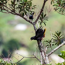 """Japu (Psarocolius decumanus) fotografado em Pedra Azul, Espírito Santo -  Sudeste do Brasil. Bioma Mata Atlântica. Registro feito em 2014.<br /> <br /> <br /> <br /> ENGLISH: Crested Oropendola photographed in Pedra Azul, Espírito Santo - Southeast of Brazil. Atlantic Forest Biome. Picture made in 2014."""
