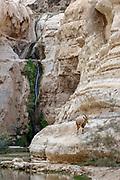 An Ibex on the cliff at Ein Ovdat, Wadi Zin valley, Negev, Israel