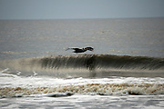 Gray Pelican cruising the wave tops along a Jekyll Island Beach