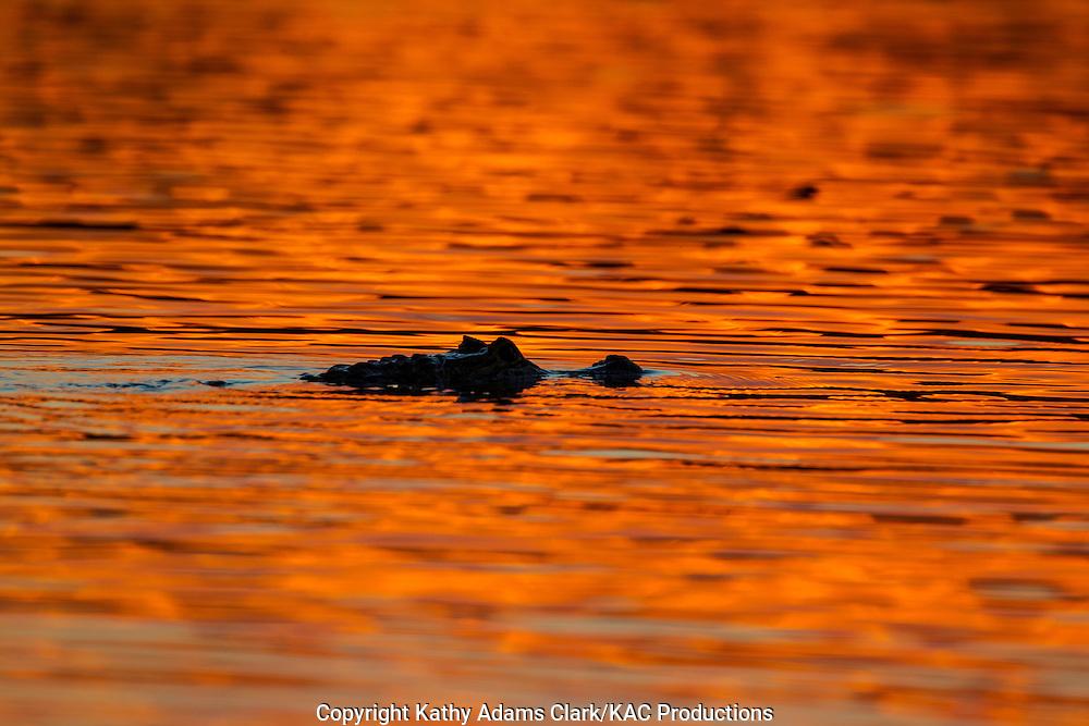 Brazil; Caiman; Caimaninae; Jacare caiman; Mato Grosso; Pantanal; Rio Piquiri, reflection, sunset