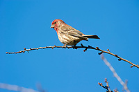 House Finch (Carpodacus mexicanus) perched in tree,  Healdsburg, California, USA