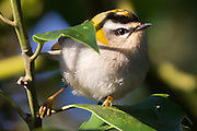 Firecrest (Regulus ignicapillus) in holly tree. RSPB Arne, Dorset, UK.