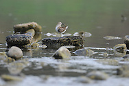 This little sandpiper is grooming it feathers on some rocks in the Chemung River in NY.