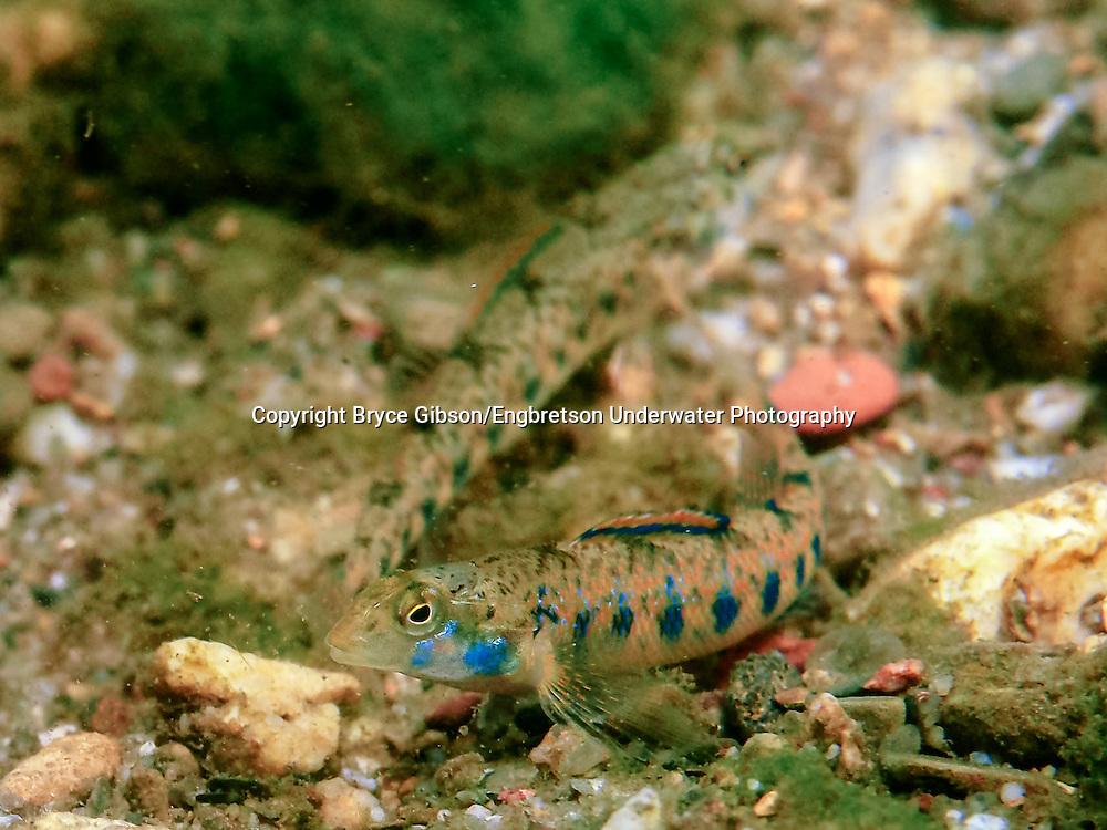 Blueside Darter<br /> <br /> Bryce Gibson/Engbretson Underwater Photography