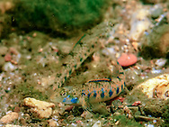 Blueside Darter<br />