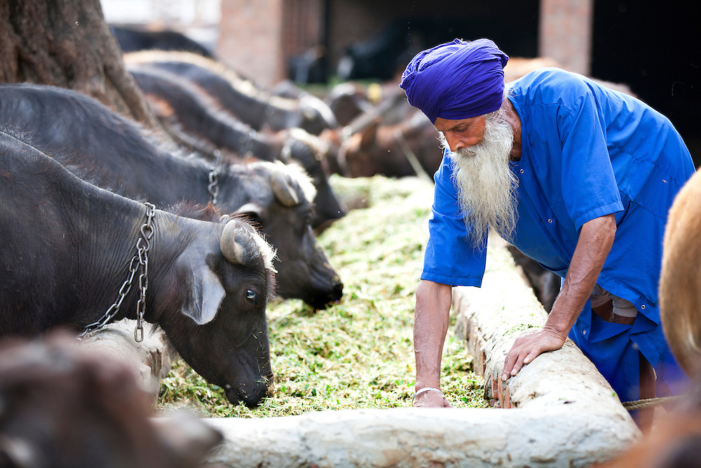 A Niahng SIkh tending to his buffalos.<br /> The Nihangs are warrior sikhs and their attire consists of blue color.