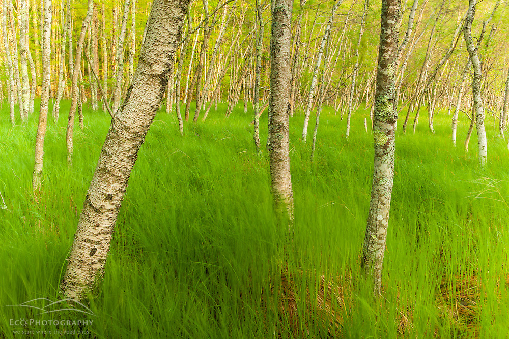 A grove of paper birch trees, Betula papyrifera, in a grassy wetland at Sieur de Monts Spring in Maine's Acadia National Park.