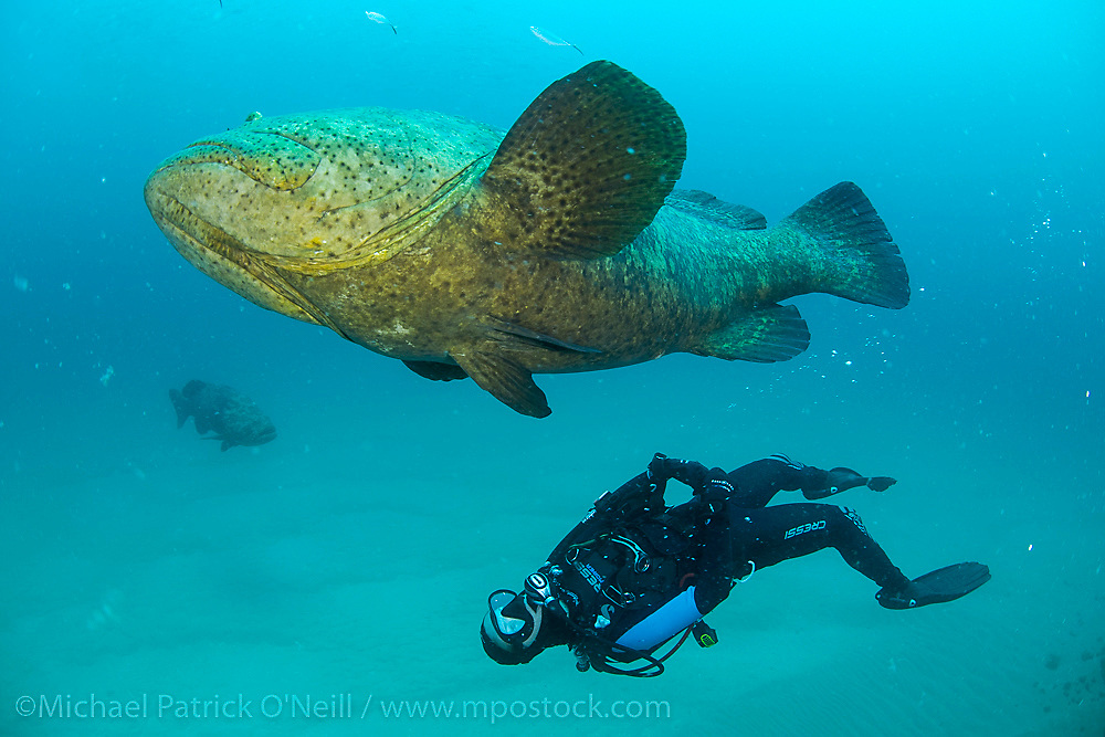 A scuba diver swims next to a protected and endangered Goliath Grouper, Epinephelus itajara, offshore Singer Island, Florida, United States.