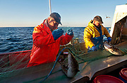 Catching cod (skrei) with nets off the island of Röst, Lofoten, Norway in February 2013.