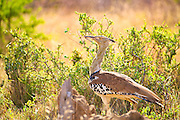 Kori Bustard bathed in golden afternoon light, photographed in South Africa.<br /> <br /> Male Kori Bustard may be the heaviest living animal capable of flight. This species, like most bustards, is a ground-dwelling bird and an opportunistic omnivore.