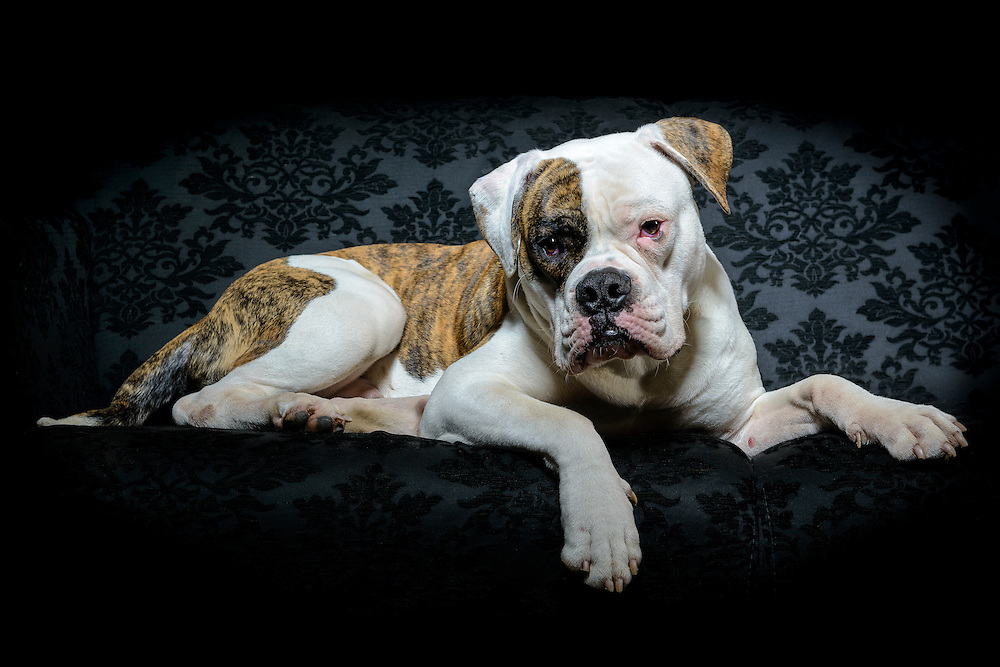 De eerste en enige in Zuid Korea gekloonde hond in Nederland door het BNN programma Klonen Wens of Waanzin in de foto studio. Unieke fine art van huisdier en hond Pipo de kloon.