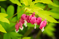 Close-up of beautiful bleeding hearts.