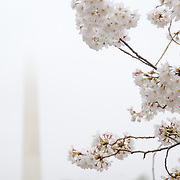 The Yoshino Cherry Blossoms around the Tidal Basin this year celebrate their 100th anniversary of the first planting in 1912. With the unseasonably warm winter, the peak bloom has come very early this year. In this photo taken on March 18, 2012, the blossoms are in peak bloom. In the background, the