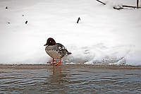 A young female Common Goldeneye takes time out to rest on the ice along a northern Utah river.
