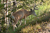 This beautiful deer was enjoying a snack on the side of the road in the Canyon area of Yellowstone. ..©2009, Sean Phillips.http://www.Sean-Phillips.com