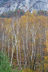 Paper birch trees in fall below Owl Cliff New Hampshire USA
