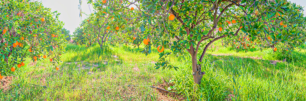 Photo art panorama of an orange grove in California's Inland Empire. Super hi-res for panoramic wall mural installations up to 25 ft.